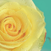 Dew Prints - Yellow Rose With Dew Drops Print by Maria Kallin
