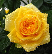 Large Format Prints - Yellow rose with water droplets Print by Maria Malevannaya