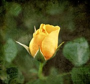 Roses - Yellow Rosebud by Cathie Tyler