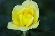 Yellow Rosebud Photos - Yellow Rosebud by John  Greaves