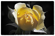 Yellow Rosebud Photos - Yellow Rosebud by Linda Dunn