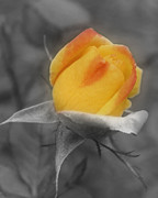 Orange Rosebud Posters - Yellow Rosebud Partial Color Poster by Smilin Eyes  Treasures