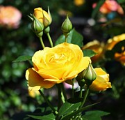 Roses - Yellow Rosebuds by Cathie Tyler