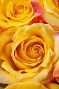 Yellow Flower Scent Posters - Yellow roses close up Poster by Garry Gay