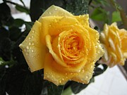 Large Format Prints - Yellow roses with water droplets Print by Maria Malevannaya