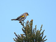 Warbler Photos - Yellow-Rumped Warbler Bird Perched . 40D12021 by Wingsdomain Art and Photography