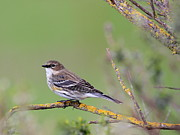 Warbler Photos - Yellow-Rumped Warbler Bird Perched . 40D12105 by Wingsdomain Art and Photography