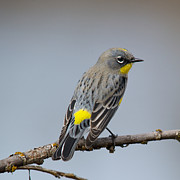 Bob Smithing Framed Prints - Yellow-rumped Warbler Framed Print by Bob Smithing