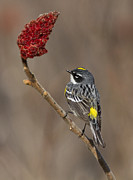 Yellow Warbler Posters - Yellow-rumped Warbler Poster by Mircea Costina Photography
