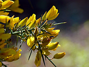 Spiney Posters - Yellow Scotch Broom  Poster by Pamela Patch