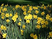 Elena Tudor - Yellow Sea Daffodils at...