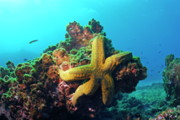 Yellow Sea Star On A Rock Underwater View Print by Sami Sarkis