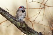 Woodpeckers Prints - Yellow-shafted Northern Flicker Print by Betty LaRue