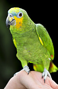 Feathers Photos - Yellow-shouldered Amazon parrot by Elena Elisseeva