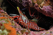Yellow Snout Red Shrimp Print by Sami Sarkis