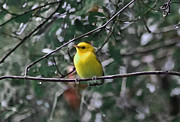 Warbler Photos - Yellow Songbird by DigiArt Diaries by Vicky Browning