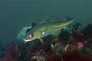 Tropical Fish Posters - Yellow Spotted Atlantic Ocean Cod Poster by Mathieu Meur