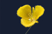 Flower Design Prints - Yellow Star Tulip - Calochortus monophyllus Print by Christine Till
