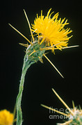 Thistles Photos - Yellow Starthistle by Science Source