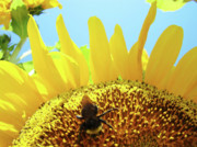 Yellow Sunflower Art Prints Bumble Bee Baslee Troutman Print by Baslee Troutman Fine Art Photography