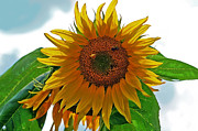 Susan Leggett Acrylic Prints - Yellow Sunflower Acrylic Print by Susan Leggett