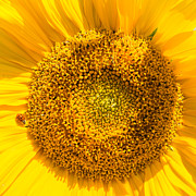 Sonnenblume Prints - Yellow sunflower with ladybug - square format Print by Matthias Hauser