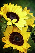 Yellow Sunflowers Prints - Yellow Sunflowers Print by Cathie Tyler