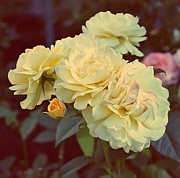 Cream Roses Prints - Yellow Sunshine Print by Cathie Tyler