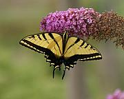 D Winston - Yellow Swallowtail...