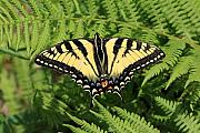 Fern Originals - Yellow Swallowtail Butterfly In The Woods Of Sherbrooke Quebec Canada by Pierre Leclerc