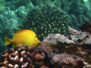 Tropical Fish Posters - Yellow Tang on the Reef Poster by Bette Phelan