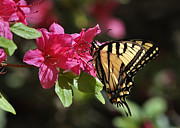 Azalias Posters - Yellow Tiger Swallowtail Butterfly Poster by Nava Jo Thompson