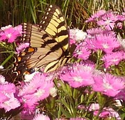 Morph Framed Prints - Yellow Tiger Swallowtail with Pink flowers Framed Print by Christopher  Mercer