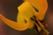 Trout Photo Posters - Yellow Trout Lily Poster by Scott Hovind