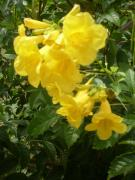 Trumpet Photo Originals - Yellow Trumpet Flowers 2 by Warren Thompson