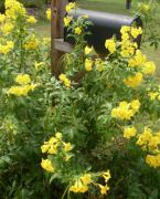 Trumpet Photo Originals - Yellow Trumpet Flowers and Mailbox by Warren Thompson