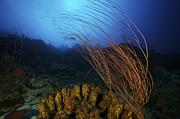 Gorgonian Photos - Yellow Tube Sponges And A Large Group by Terry Moore