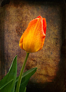 Texture Flower Framed Prints - Yellow Tulip Framed Print by Fred LeBlanc