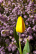 Dew Metal Prints - Yellow tulip in the garden Metal Print by Garry Gay