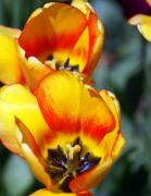 Yellow Tulip Print by Marty Koch