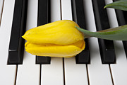 Dew Posters - Yellow tulip on piano keys Poster by Garry Gay