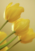 Canary Yellow Art - Yellow Tulip Trio by Bonnie Bruno