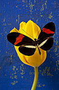 Blue Posters - Yellow Tulip With Orange and Black Butterfly Poster by Garry Gay
