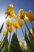 Woodburn Framed Prints - Yellow Tulips Against A Blue Sky At Framed Print by Craig Tuttle
