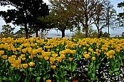 Sunset Digital Art Originals - Yellow Tulips of Fairhope Alabama by Michael Thomas