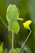Green Foliage Framed Prints - Yellow Vetchling (lathyrus Aphaca) Framed Print by Bob Gibbons