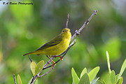 Warbler Originals - Yellow Warbler by Barbara Bowen