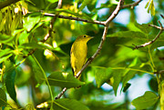 Yellow Warbler Framed Prints - Yellow Warbler Bird Framed Print by Terry Elniski
