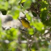 Yellow Warbler Photos - Yellow Warbler Dendroica Petechia by Keith Levit