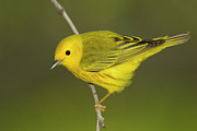 Yellow Warbler Posters - Yellow Warbler Dendroica Petechia Male Poster by Tom Vezo
